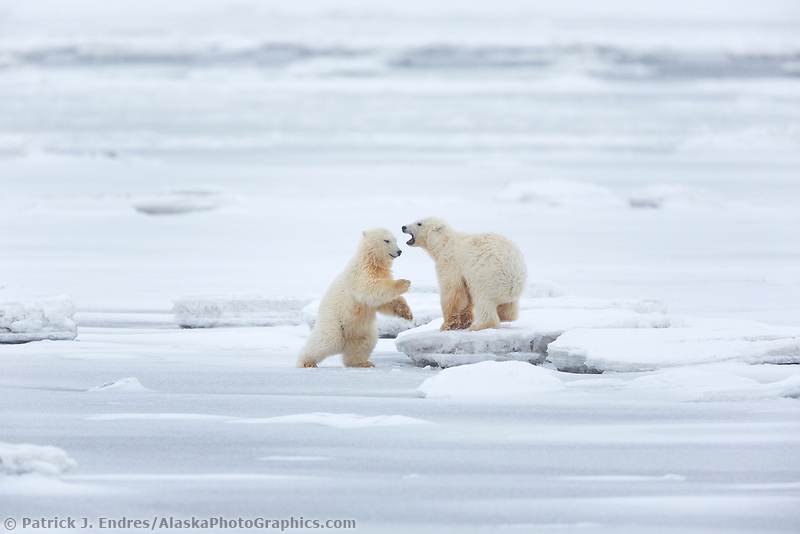 Cubs play on the Beaufort Sea ice, Arctic National Wildlife Refuge, Alaska.