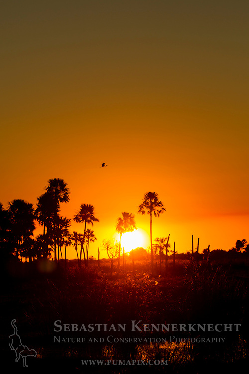 Cocoi Heron (Ardea cocoi) flying over palms in marsh at sunset, Ibera Provincial Reserve, Ibera Wetlands, Argentina