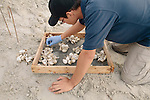 An AmeriCorps research member of the Jekyll Island Georgia Sea Turtle Center sorts through sea turtle egg shells of an excavated nest on Jekyll Island, Georgia August 15, 2013.