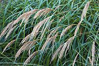 Ornamental flowering grass, Miscanthus, flowering in Gary Ratway garden