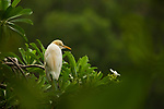 Cattle Egret (Bubulcus ibis) in breeding plumage, Diyasaru Park, Colombo, Sri Lanka