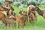 In the early morning, cow elk gather their young, staying alert for carnivores in the tall willows nearby, while keeping their spotted calves closely grouped in a nursery in a meadow in Grand Teton National Park, Wyoming.