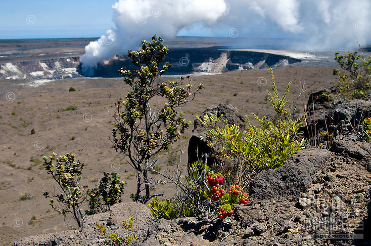 'Ohelo berries in the foreground of Kilauea volcano's Halema'uma'u Crater and caldera, Hawai'i Volcanoes National Park, Big Island of Hawai'i.