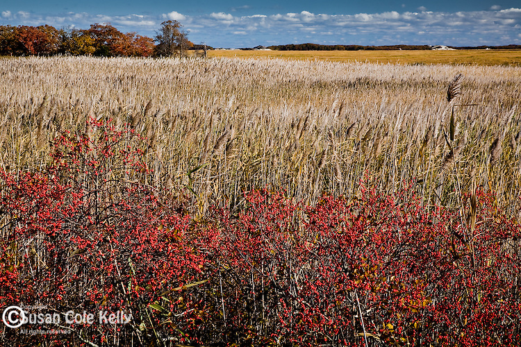 Winterberries in The Great Marsh, Barnstable, Cape Cod, MA, USA