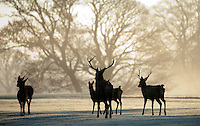 9-12-2010- A herd of Sika deer graze on the lush pastures of Killarney Golf Club during early morning sunshine on Thursday.<br /> Picture by Don MacMonagle