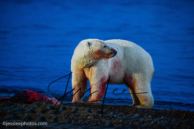 Polar Bear with a scrap of a whale meat.