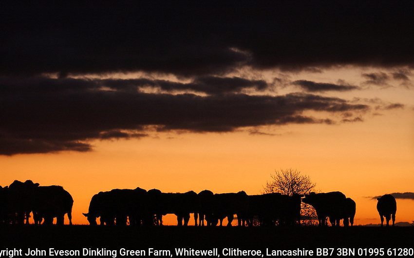 Beef cattle and sunset near Taunton, Somerset.