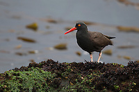 Black Oystercatcher (Haematopus bachmani) foraging on a rock jetty near Morro Rock in Morro Bay, California.