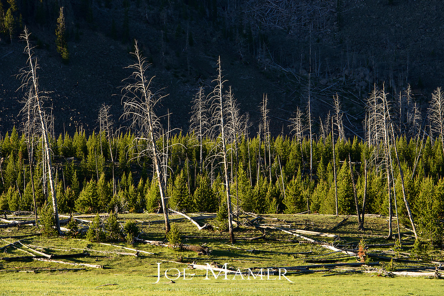 Forest recovery after a fire in Yellowstone National Park near Mt Haynes.