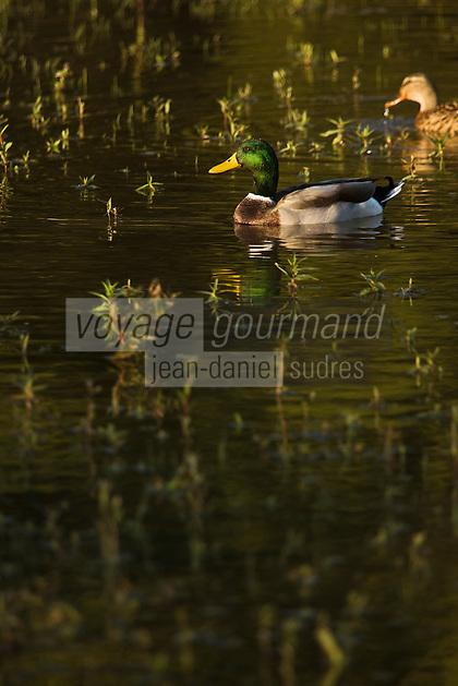 Europe/France/Picardie/80/Somme/Baie de Somme/Saint-Quentin-en-Tourmont : Parc du Marquenterre - Canards sauvages