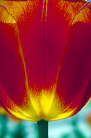 close-up of tulip flower. botany, red, yellow, petal, petals, plant, backlighting.