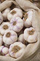 Garlic 'Provence Wight' in burlap bag harvested bulbs, white type with purple stripes