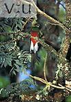 Resplendent Quetzal, adult male. (Pharomachrus mocinno) Costa Rica