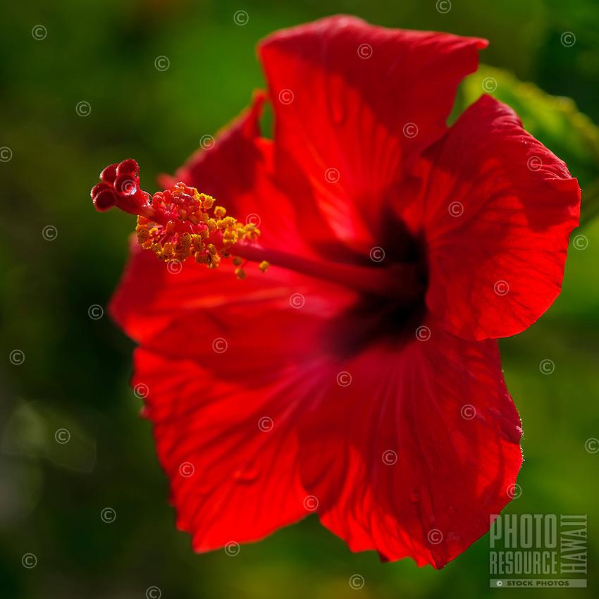 A close-up of a red hibiscus blossom, Kaua'i