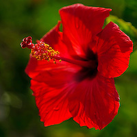 A close-up of a red hibiscus blossom, Kaua'i