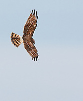 Female Northern Harrier hawk in flight,image is vertical