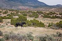 Wild Horse called Chief Joseph, Pryor Mountain Range, Wyoming