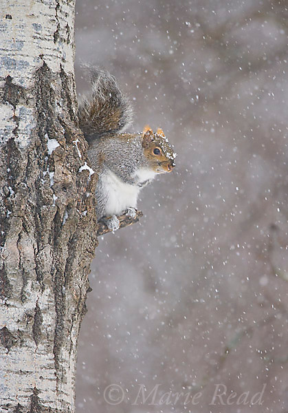 Gray Squirrel (Sciurus carolinensis) sitting in a tree during a snowstorm, New York, USA