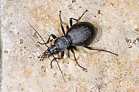 Gewöhnlicher Schaufelläufer, Körniger Schaufelläufer, Laufkäfer, Schaufel-Laufkäfer, Cychrus caraboides, snail hunter, Ground Beetle