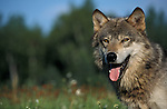 Timber or Grey Wolf, Canis lupus, Minnesota, USA, controlled situation, male, in flower meadow, summer, panting.USA....