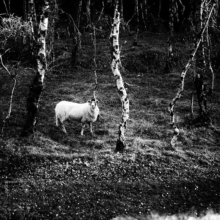 Curious sheep at Bolehill Quarry, Peak Distict