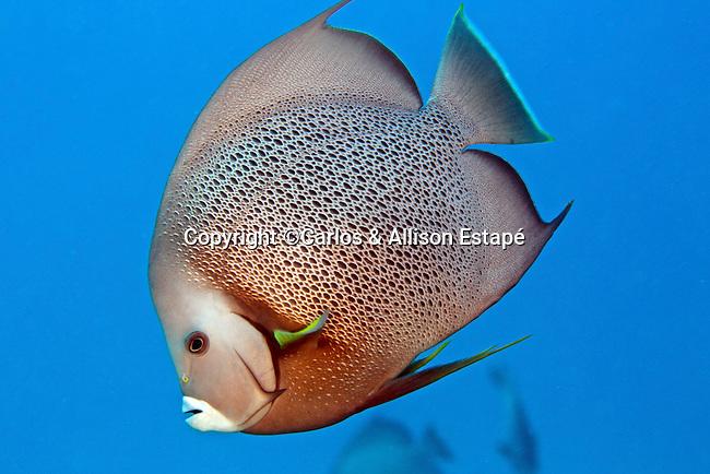 Pomacanthus arcuatus, Gray angelfish, Islamorada, Florida Keys