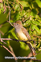 01240-006.13 Great Crested Flycatcher (Myiarchus crinitus) in tree, Marion Co. IL