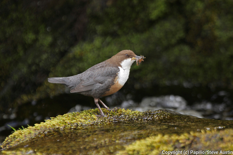 Dipper, Cinclus cinclus, with food for young, Inverness-shire, Highland, May 2009..