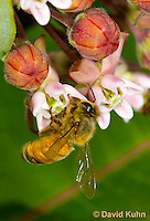 "0108-0904  Honeybee Pollinating Milkweed Flower - Apis mellifera ""Virginia"" © David Kuhn/Dwight Kuhn Photography"
