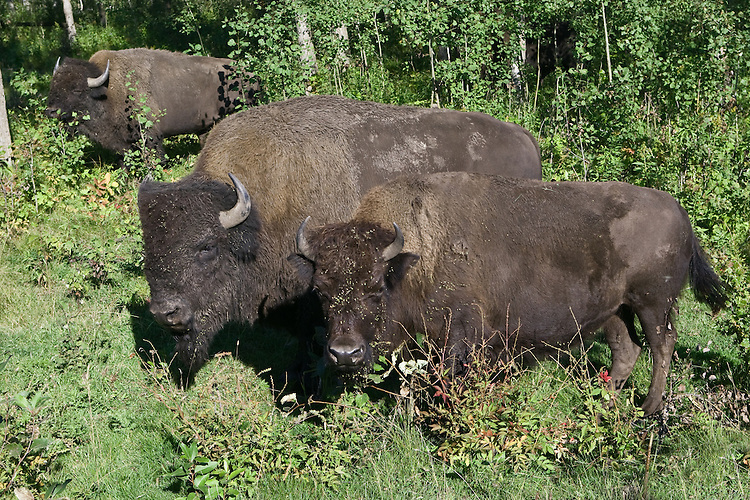 Plains Bison eating their way through the underbrush