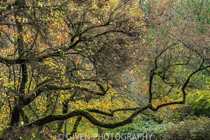 Maple Tree, Seattle, Washington