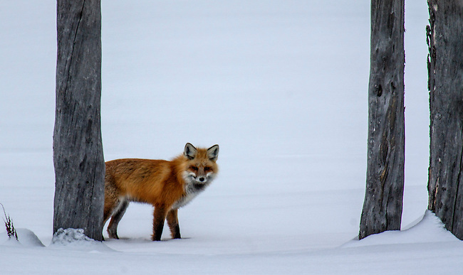 A red fox appears from behind the trees to search for its next meal.