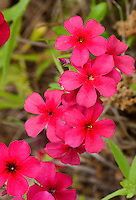 168210007 closeup of brilliant red drummonds phlox phlox drummondii wildflowers in de witt county texas
