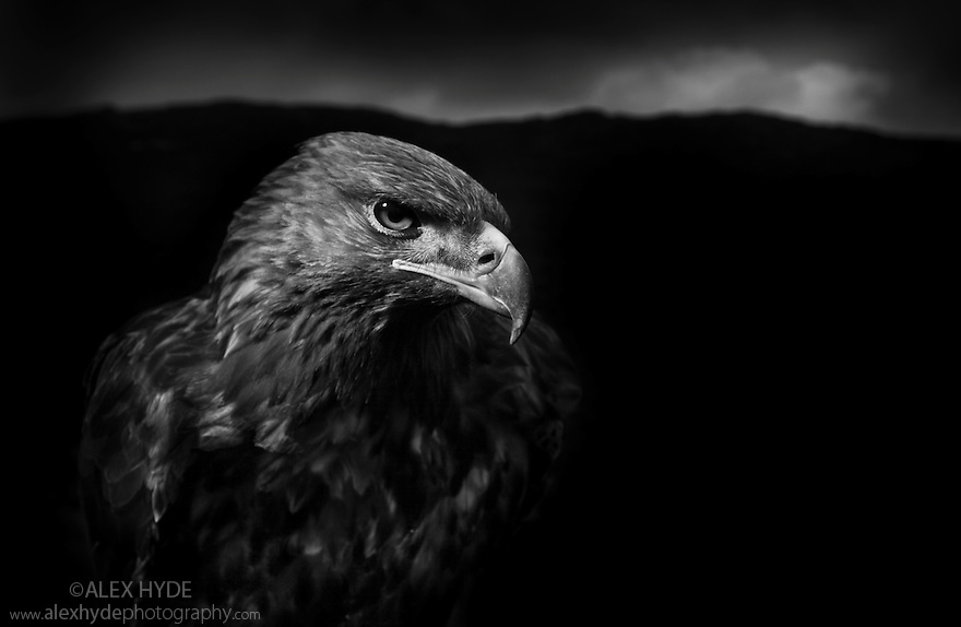 Golden Eagle {Aquila chrysaetos} male, black and white image. Captive bird, UK.