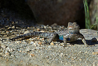 425900030 a wild great basin fence lizard sceloporus occidentalis longipes near keogh hot springs inyo county california