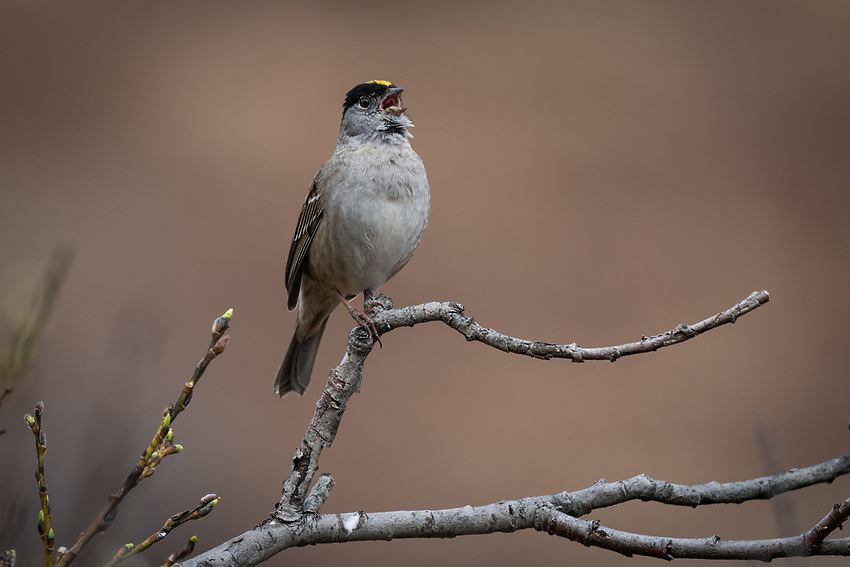 Golden Crowned Sparrow (Zonotrichia atricapilla) in the mountains of Southcentral Alaska. Photo by James R.  Evans