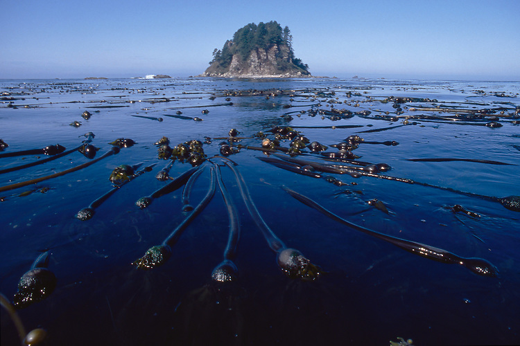 Olympic National Park, Ozette, Olympic Coast National Marine Sanctuary, Washington State, Pacific Northwest, sea stack, kelp bed, bull kelp,  Pacific Ocean, Northwest coast, Olympic Peninsula, North America, USA,.