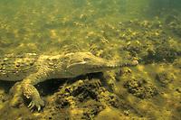 freshwater crocodile, (c), Crocodylus johnstoni, underwater in billabong, Northern Territories, Australia