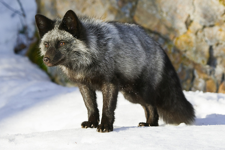 Silver Fox standing on the snow and watching intently - CA