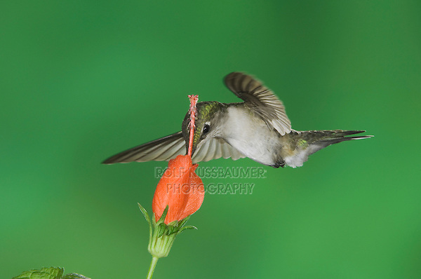 Ruby-throated Hummingbird, Archilochus colubris, female in flight feeding on Turk's Cap (Malvaviscus drummondii) , Willacy County, Rio Grande Valley, Texas, USA