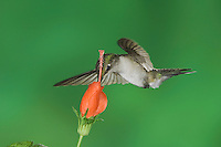 Ruby-throated Hummingbird, Archilochus colubris, female in flight feeding on Turk's Cap (Malvaviscus drummondii) , Willacy County, Rio Grande Valley, Texas, USA