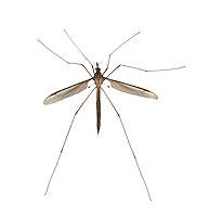 Cranefly - Tipula paludosa