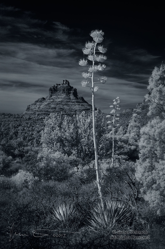 Century Plants and Bell Rock (Infrared) © 2018 James D Peterson.  These two agave plants bloomed this year in spite of our extremely dry winter.
