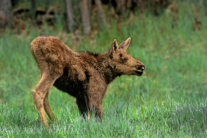 660509028 a wild moose calf alces alces forages in new grasses in a field in yellowstone national park wyoming