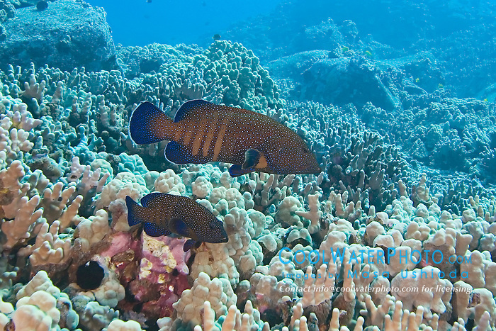 Peacock Groupers, Cephalopholis argus, roi in Hawaiian, off Kona Coast, Big Island, Hawaii, Pacific Ocean