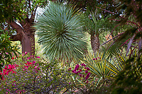 "Yucca rostrata between Arbutus and palm tree with variegated Agave sisaliana 'Tricolor"" in California garden;"