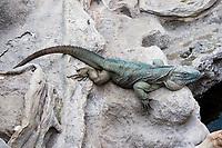 Iguanidae Cyclura lewisi