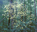 Yellow leaves of fall against evergreen background forest Mendocino County California