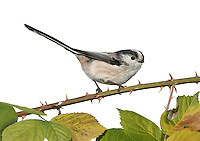 Long-tailed Tit - Aegithalos caudatus. L 14cm. Delightful, long-tailed bird with an almost spherical body. Seen in acrobatic flocks. Sexes are similar. Adult looks overall black and white but note pinkish chestnut patch on shoulders and whitish feather fringes on otherwise black back and wings. Head is mainly whitish with black band above eye; underparts are whitish, suffused pink on flanks and belly. Bill is dark, short and stubby. Juvenile is similar but duller and darker. Voice Utters rattling tsrrr contact call and thin tsee-tsee-tsee. Soft, twittering song is easily missed. Status Common resident of deciduous woodland, scrub and heathland fringes.