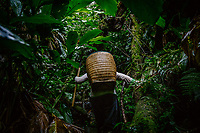 A woman carrying out the heavy work of harvesting black cardamom (Thao Qua). Once cut, the fruits are collected in wicker baskets carried on the worker's backs and later transported to a campsite for drying.